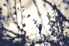 Birdsong (QuintonHurstPhotography) Tags: life trees blackandwhite tree bird art birds animal fauna photography living artwork branch singing post song thing branches fineart birdsong tint perch aviary fowl posts toned tone tinted avian chirp tweet