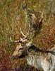 Buck Fallow Deer Rutting. (spw6156 - Over 6,520,024 Views) Tags: copyright steve © deer iso 400 buck fallow waterhouse rutting