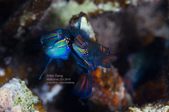 8H3A8545s (Wei on the way) Tags: sunset fish macro canon photography twilight underwater philippines dive scuba diving mating strobe tusk mandarinfish moalboal