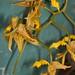 Gongora maculata – Merle Robboy