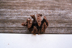 "Coast Redwood seed (pine cone) • <a style=""font-size:0.8em;"" href=""http://www.flickr.com/photos/34843984@N07/15522758436/"" target=""_blank"">View on Flickr</a>"