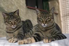Saulo & India (leporcia) Tags: cats india animals cat feline gatos gato felino animales katze gatto katzen animalplanet tabbycat saulo kittysuperstar kittyschoice catmoments