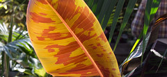 banana leaf side 2 (otgpics) Tags: california pink autumn trees red vacation urban orange plant color green fall leaves lines modern shopping palms amber leaf background style foliage area tropical bayview glowing veins chic fashionable orangier