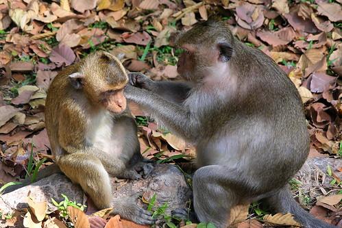 Cambodia - Siem Reap - Monkey - 09