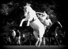El palomo (Eduardo Amorim) Tags: horses horse southamerica argentina criollo caballo cheval caballos cavalos pferde cavalli cavallo gauchos pferd pampa chevaux gaucho  amricadosul gacho amriquedusud provinciadebuenosaires  gachos  sudamrica sanantoniodeareco suramrica amricadelsur areco sdamerika crioulo caballoscriollos criollos jineteada  pampaargentina americadelsud gineteada crioulos cavalocrioulo americameridionale caballocriollo campeiros campeiro eduardoamorim cavaloscrioulos pampaargentino