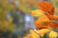 HerbstRotBuchenBltter (H. Eisenreich Foto) Tags: autumn fall leaves nikon bokeh laub herbst hans bltter beech buche rotbuche eisenreich