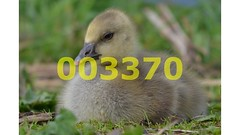 Flickr_003370 (lima_ho_htc) Tags: bird birds feathers feather goose chicks gosling babybird leavalley greylag franbanks rememberthatmomentlevel4 rememberthatmomentlevel1 rememberthatmomentlevel2 rememberthatmomentlevel3 rememberthatmomentlevel9 rememberthatmomentlevel5 rememberthatmomentlevel6 rememberthatmomentlevel10