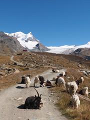 Matterhorn Zermatt (arjuna_zbycho) Tags: city mountain mountains schweiz switzerland suisse swiss glacier berge alpine stadt gornergrat zermatt matterhorn alpen svizzera gletscher wallis góry ch valais miasto cervino montecervino montcervin autofrei vallese lecervin kantonwallis walliseralpen elektromobil autofreiezone dshore solvayhütte