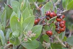 Manzanita berries at the New River ACEC (BLMOregon) Tags: new oregon river bay coast wildlife recreation coos acec extendeddepthoffield distblm coosbaydistblm