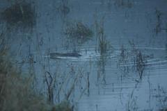 Castor (Samuel Raison) Tags: mist nature nikon loire brouillard cygnes castor oiseaux swann rserveornithologique nikond3 loire42 ecople nikon4500mmaip