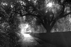 Morning walk in the Grove at ECR Raod - #22102014-IMG_7620_1_2_BW (photographic Collection) Tags: road morning trees blackandwhite sun india white black color wall sunrise canon project photography team photographer grove oct photographic collection rays 365 chennai hdr tamilnadu ecr 22nd 2014 hws sarma photomatix ecrroad project365 550d kalluri t2i hyderabadweekendshoots injambakkam canon550d teamhws canont2i photographiccollection bheemeswara bkalluri bheemeswarasarmakalluri