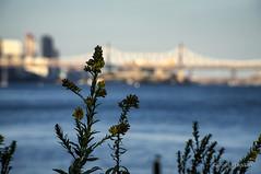Stuyvesant Cove (Joel Raskin) Tags: nyc newyorkcity flowers river manhattan eastriver alpha mirrorless stuyvesantcove nex6 sonynex6 selp18105g