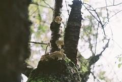 Mushrooms- Olympus OM10 (m.sukhanenko) Tags: tree mushroom olympusom10 uptothesky