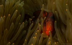 DSC05608.jpg (Vaajis) Tags: asia underwater diving malaysia borneo mabul seaanemone spinecheekanemonefish