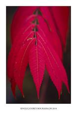 SINGLE (CoreysPics) Tags: autumn red fall leaves canon print backyard sumac foliage dslr jpeg canoneos export 40d ef135mmf20lusm