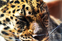 Regard perant (Warren Qc) Tags: life wild animal zoo wildlife lion leopard jungle animaux panther saguenay vie pantera sauvage faune savane panthere feroce