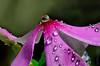 Liquid Jewels of Nature (ArvinderSP) Tags: reflections petals catharanthusroseus waterdrops naturephotography macrophotography 580 natureupclose vincarosea arvindersingh arvinderspcom