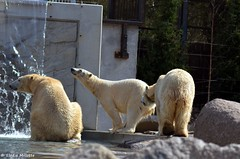 Vicks, Sesi et Tina (DoddieElodie) Tags: france zoo alsace carnivore ours mulhouse
