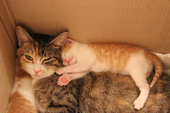 IMG_8464 (toetsu) Tags: cats cat kitten kittens