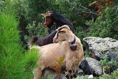 Watching Meggy! (cathassos) Tags: greece macedonia goats timeless thassos goatbells