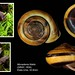 monadenia fidelis1 usa 33mm8