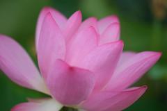 (mewtwoo) Tags: pink plant flower tokyo outdoor pflanze fujifilm  60mm  blume blte  schrfentiefe   bltenblatt nelumbo  nelumbonucifera nucifera heiter   xpro1