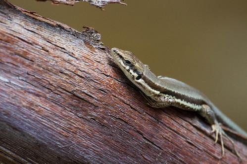 ? Phoenicolacerta troodica (Troodos Lizard)