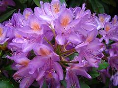Purply flowers up close (zoekay) Tags: park flowers trees nature birmingham purple suttoncoldfield suttonpark outsidespaces
