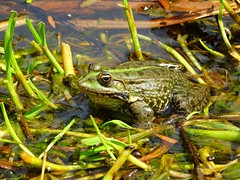 grenouille (arwenjdpr) Tags: nature animal toad crapaud