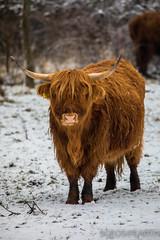20170211-IMG_2659 (SGEOS@EARTH) Tags: schotse hooglander highland cattle scottish oerossen wildlife nature outdoor observer canon konikpaarden wilde paarden konik polish