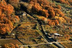 Val d'Aosta - Valle Centrale, Donnas: i vigneti - particolare (mariagraziaschiapparelli) Tags: valdaosta donnas allegrisinasceosidiventa camminata escursionismo peredrette vigneti autunno vigne