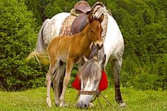 Un poulain de cosaque. Souvenir d'Ukraine. / A Cossack colt. Remembrance of Ukraine. (jirichodil) Tags: czphoto ukrajina ukraine canon colt hříbě foal animal horse fantastic nature poulain cheval flickerunitedaward
