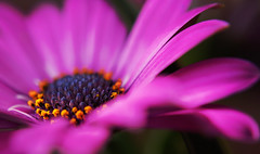 Pink Petals (Wim van Bezouw) Tags: flower gerbera nature plant spring pink petals sony ilce7m2