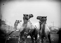 Camel Conversations (Chloe Drape) Tags: 35mm holga vintage unedited aesthetic film photography camel market cairo egypt dust texture street grunge bw streetscenes streetscene scanned ephemeral moments
