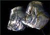 Lookdowns, flat as a pancake (Foto Martien) Tags: lookdown silvermoonfish atlanticmoonfish horsehead horsefish dollarfish flatjack hairfinneddory hairfinnedsilverfish moonshine bluntnose wireback neerlijker bodengucker pferdekopf lune mussopanache caracaballo carangue casabe corcobado coroba jorobado lamparosa papelillo pezluna platillo ugorrigo selenevomer selenesetapinnis fish vis tropicalfish tropischevis seafish zeevis saltwaterfish westernatlantic atlanticocean canada maine uruguay bermuda gulfofmexico caribbean usa florida southernbrazil zoorotterdam netherlands nederland holland dutch diergaardeblijdorp oceanium aquarium rotterdam fishtank tank scan scanedpicture scannedslide diascan dia film slide digitized analogue analog analoog macro minolta9000 minoltamacro100mm28 martienuiterweerd fotomartien