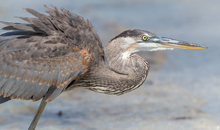 Great Blue Heron, Pinellas County, FL [Explore 9 March 2017]