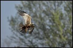 _DSK3276-27-03-2017 - falco di palude (r.zap) Tags: circusaeruginosus falcodipalude rzap parcodelticino