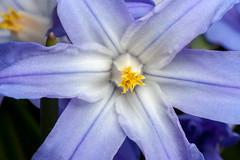 Center of the Star - _TNY_1497 (Calle Söderberg) Tags: macro canon canon5dmkii canonef100mmf28usmmacro canoneos5dmarkii meike mk300 glassdiffusor raynox dcr250 flower forbesgloryofthesnow chionodoxa forbesii gloryofthesnow vårstjärna blue white star