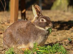 IMG_8370.jpg (land_der_tiere) Tags: kaninchen rabbit rabbits bunny bunnies cony conys lapin lapins hoppeln scuttle scamper lollop schnüffeln snooping schnurrhaare schnurrbart whisker vibrisse puschel tuft paw foot pfote pfötchen land der tiere lebenshof animals sanctuary freiheit artgerecht tierschutz tierrecht tierbefreiung tiernothilfe stiftung tierrettung artenschutz rights liberation animal tier tierschutzzentrum mecklenburgvorpommern banzin vellahn hamburg ludwigslust biosphärenreservat schalsee unversehrt selbstbestimmt selbstbestimmung unversehrtheit