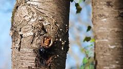 Nouveau locataire - New occupant (Sosodu16 (200000+ views)) Tags: d800 nature animal écureuil squirrel sciurusvulgaris