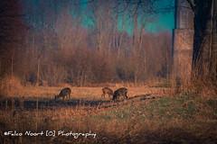 Deer (falconoortphoto) Tags: hert lente nikon nikond5200 falconoort almere flevoland nederland
