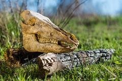 Skull (H.W_Werke) Tags: skull nature boar animal pentaxsmc50mmf17 meadow