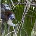 Geoffroy's tamarin monkey - wild titi monkeys gamboa panama pandemonio 2017 - 01