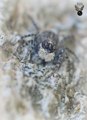ARAÑA SALTARINA 06 (JuanMa-Zafra) Tags: araña arácnidos menemerus semilimbatus macro d7100 105mm reflector difusor flas sb800 zafra extremadura