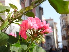Amalfi Coast: Minori - Flower Bokeh (marifinland) Tags: amalfi salerno seaside lucidartista amalficoast costiera amalfitana italy italia sud mare tramonto sun sea places world travel landscape food topview paradise outdoor holiday summer explorearchitecture town city