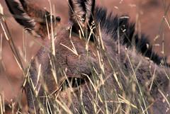 Tassili n' Ajjer   Jan 2004 (Euphemia G) Tags: africa algeria sahara tassilinajjer djanet desert donkey animal trek
