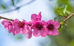 peach blossoms (01) (Vlado Ferenčić) Tags: peachblossoms peach blossoms macro closeup closeupmacro macrocloseup nikond600 sigma15028macro vladoferencic vladimirferencic zagorje hrvatska croatia