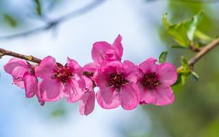 peach blossoms (01)