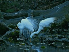 Egrets in breeding plumage, after sunset! (Photos by the Swamper) Tags: wadingbirds egrets greategret