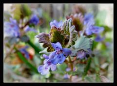 Gundermann (karin_b1966) Tags: blume flower wildblume wildflower blüte blossom pflanze plant garten garden natur nature frühling spring 2017 gundermann